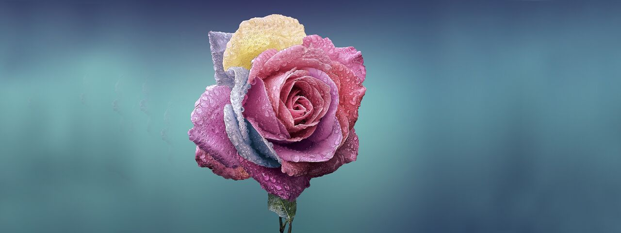 Colorful Rose With Grey in Background