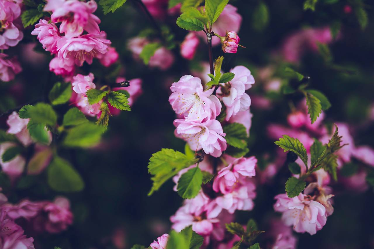Pink-Flowers-Green-Leaves-1280x853