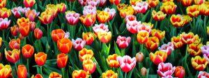 Tulips Orange Pink 1280×480