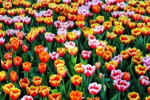Tulips Orange Pink1280x853