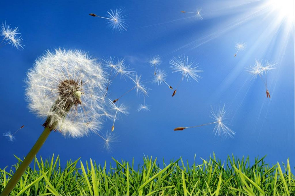 eye allergies caused by dandelions