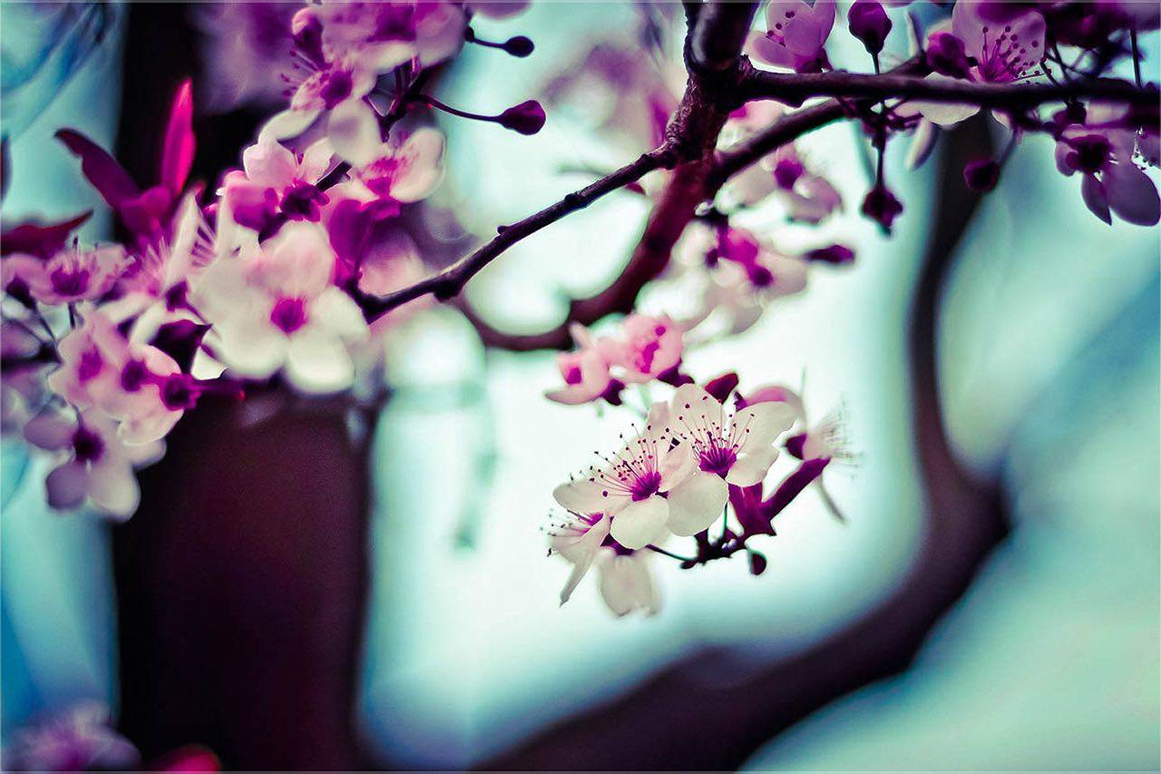 bkground_cherry_blossom-sm