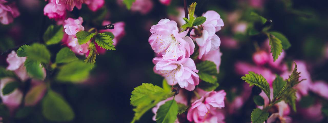 Pink-Flowers-Green-Leaves-1280x480