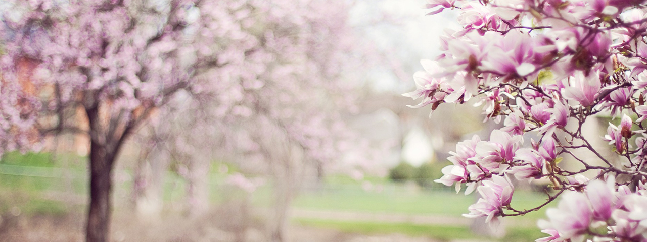 Purple-Magnolia-Trees-1280x480