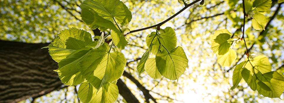 tree_leaves_sunshine_green