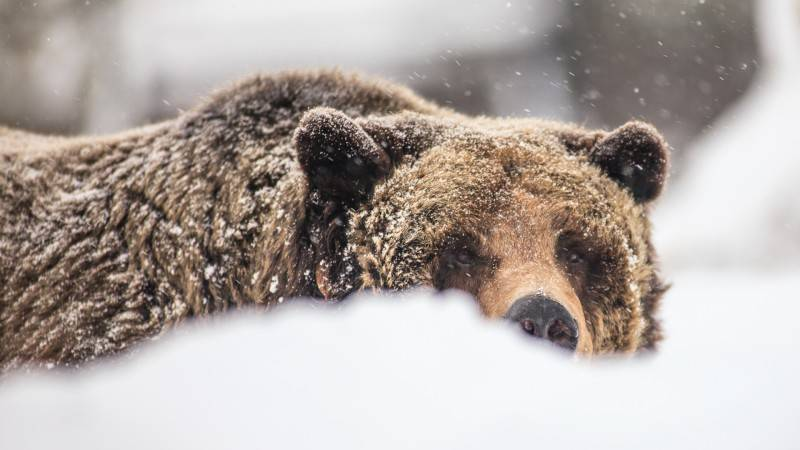 Grizzly-1-e1452720852942
