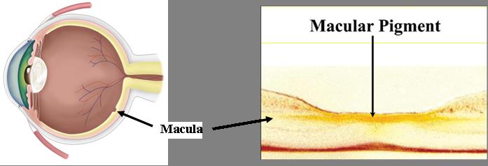 Macular Pigment