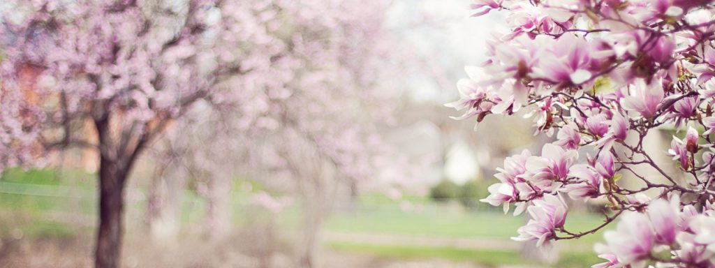 Purple-Magnolia-Trees-1280x480-1024x384