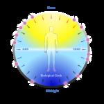 biological clock image