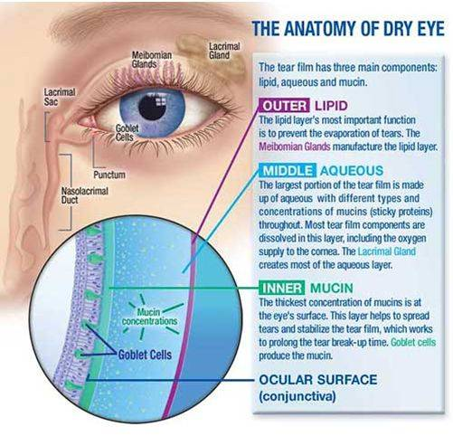 anatomy of dry eye