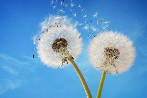 Dandelion. TSO Champions, Eye Care, Eye Doctor