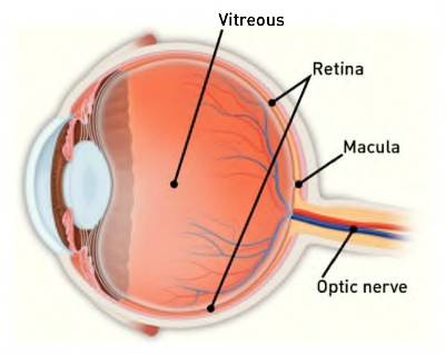 Diagram of an eye, including macula