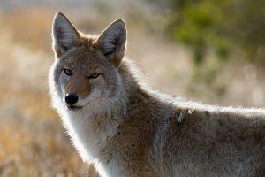 coyote 1480717 640