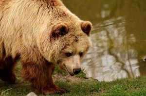 european brown bear 2782765 640