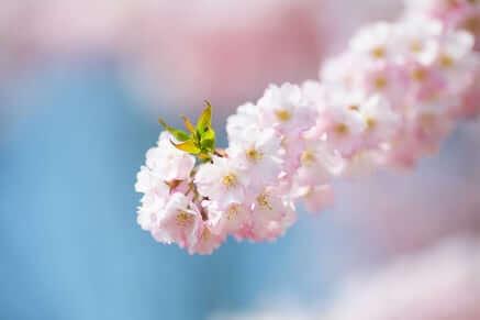 flower blossoms pink