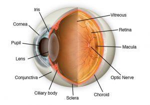anatomia ojo