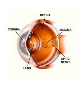 diagram of macula and retina