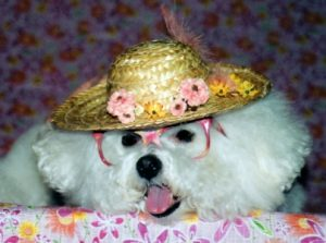 dog in hat and glasses tuliphatcrop