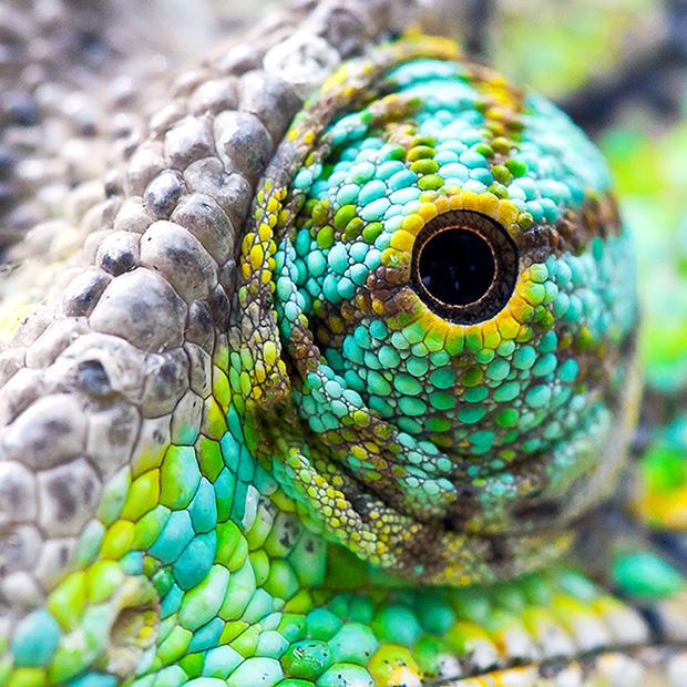 Chameleon 620