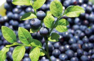 large bilberry