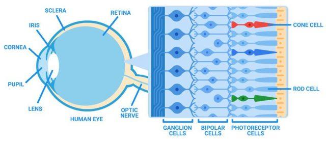eye anatomy 950x414