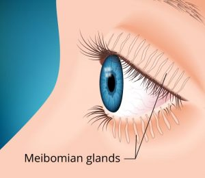 meibomian glands 330×287@2x