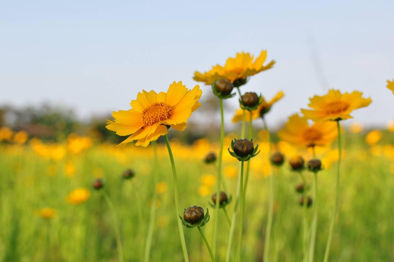 flowers-yellow-infield