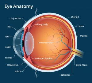 eye anatomy 700×635