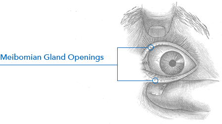 graphic meibomian gland openings