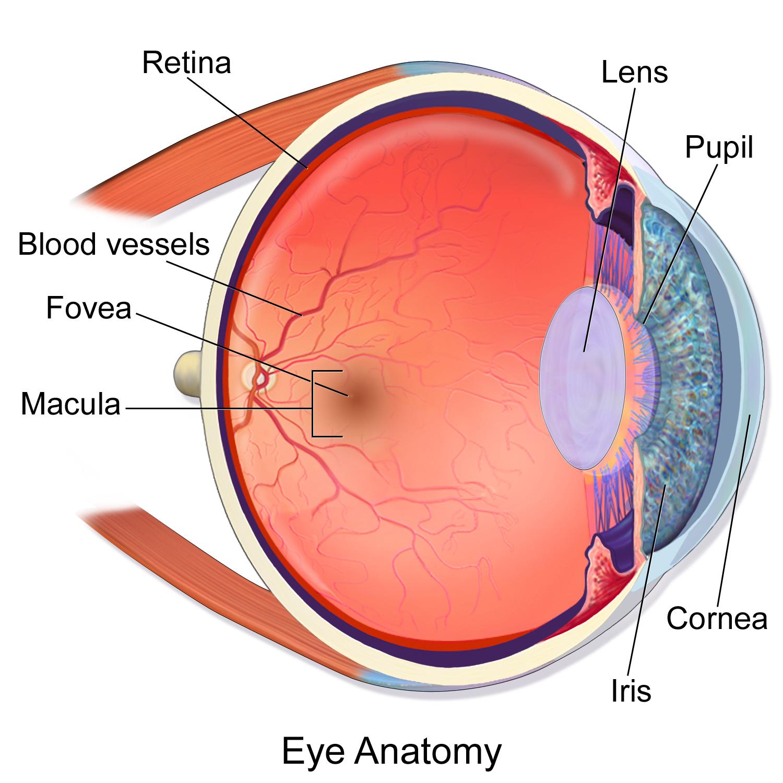 Blausen 0389 EyeAnatomy 02