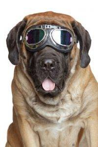 dog wearing safety goggles to advertise eye care insurance