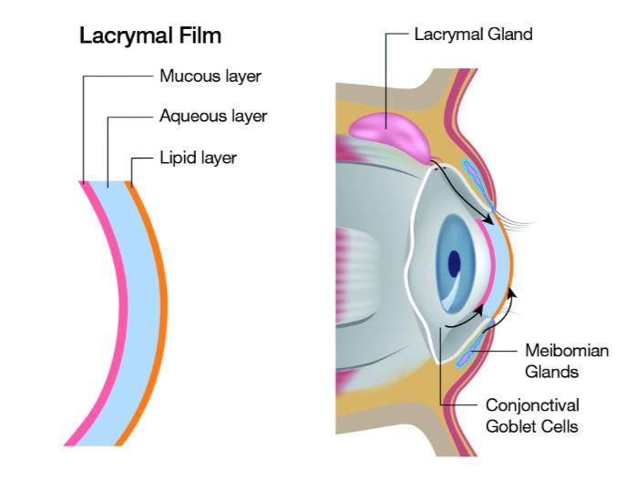 Lacrymal Film duncan optometrist